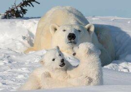 """""""Schneeballspiel"""": Kleine Eisbären lieben es, im Schnee zu spielen, während ihre Mutter sie aufmerksam beobachtet"""