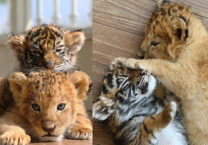 Löwenjunges und Tigerjunges. Quelle:dailymail.co.uk