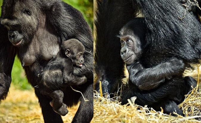 Der 4-Monate-alte Gorilla. Quelle:dailymail.co.uk