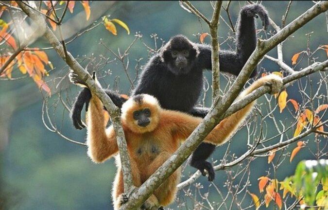 """""""Selten und geheimnisvoll"""": Auf der Insel Hainan lebt ein neues Paar seltener Gibbons"""