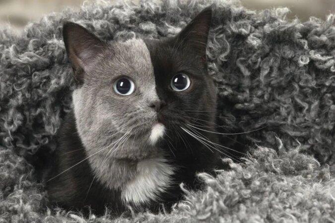 """Das Kätzchen mit """"zwei Gesichtern"""" wurde, als es erwachsen wurde, als die schönste Katze der Welt anerkannt"""