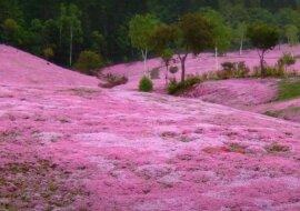 Sakurablumen. Quelle: Screenshot YouTube