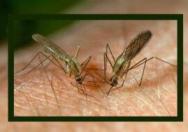 Mücken. Quelle: flickr