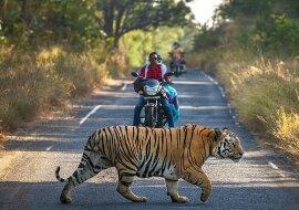 """""""Unerwarteter Fußgänger"""": Biker mussten ihre Fahrt wegen eines Tigers unterbrechen, der entschied, die Straße zu überqueren"""