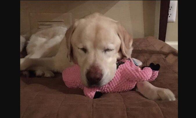 Ein Mann fand einen alten Labrador, der nicht sehen konnte, in einem Bach und spendete die Belohnung für seine Rettung an ein Tierheim