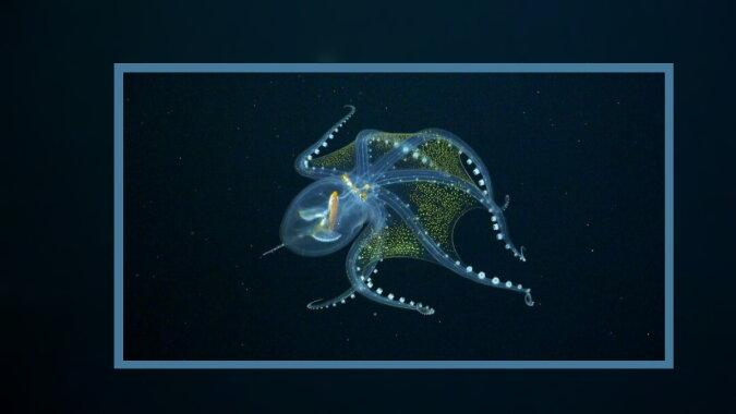 Ein transparenter Oktopus. Quelle: travelask