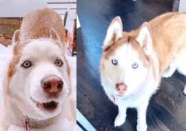 Kona der Husky. Quelle: dailymail.co.uk