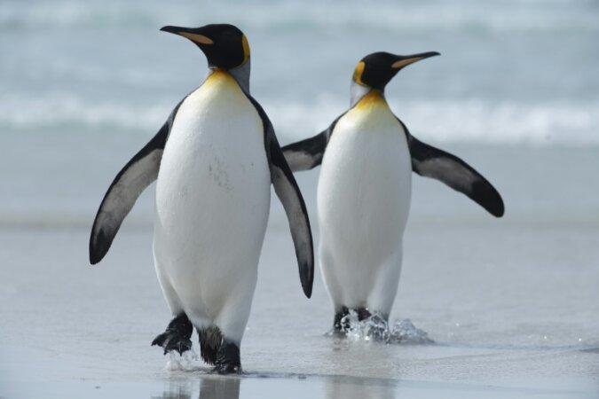 Die Skisaison ist eröffnet: Wie Polarforscher und Königspinguine Rennen veranstalteten