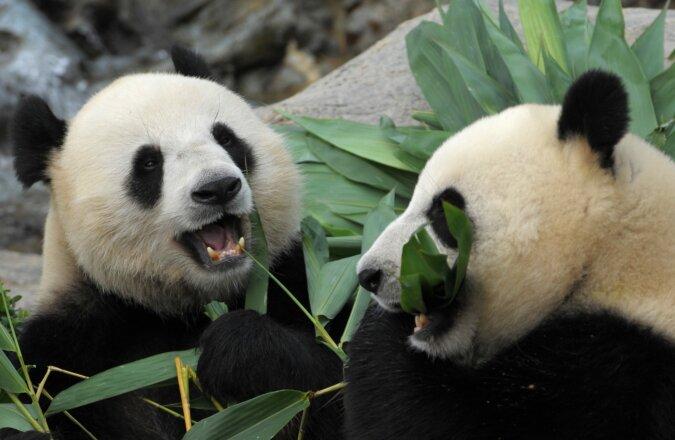 """""""Wie Kinder"""": Pandas verbergen die Freude über den ersten Schnee nicht und spielen Schneebälle"""