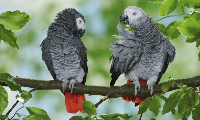 """""""Wegen des schlechten Benehmens"""": Papageien wurden wegen Wörter, die sie gelernt haben, vor der Öffentlichkeit versteckt"""