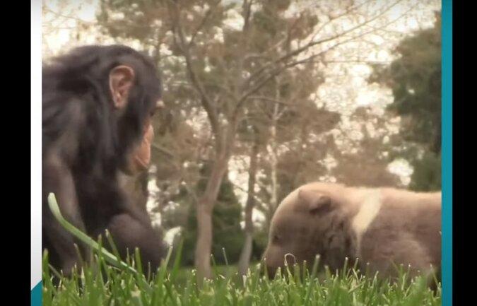 Schimpanse und Bär. Quelle: Screenshot YouTube