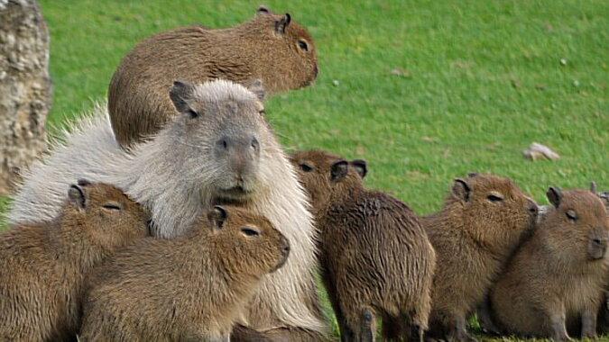Wasserschweine. Quelle: animalsbeingcute