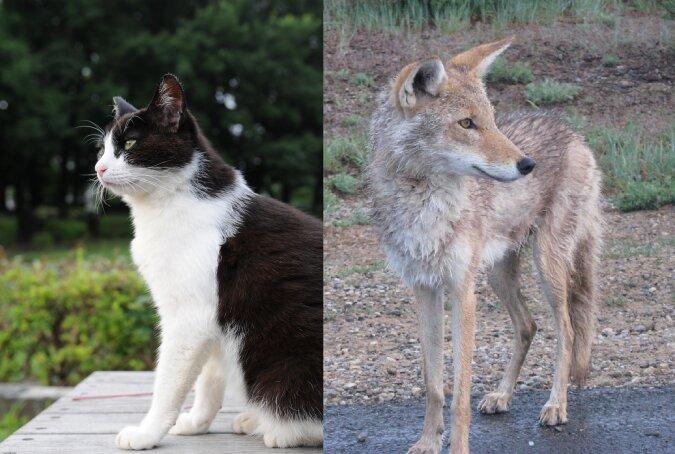 Kojote und Kater. Quelle:dailymail.co.uk