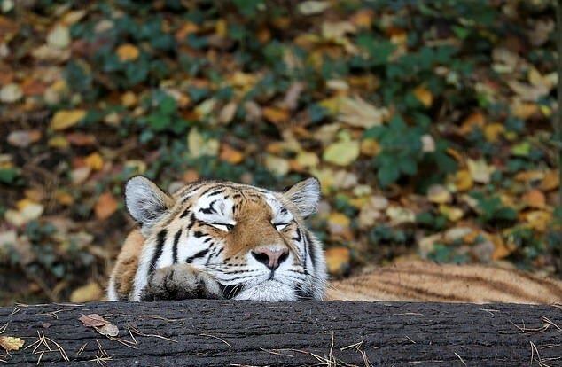 """""""Seltenes Aussehen"""": Wie der Sibirische Tiger Beamten erschreckte, die Einzelheiten sind bekannt geworden"""