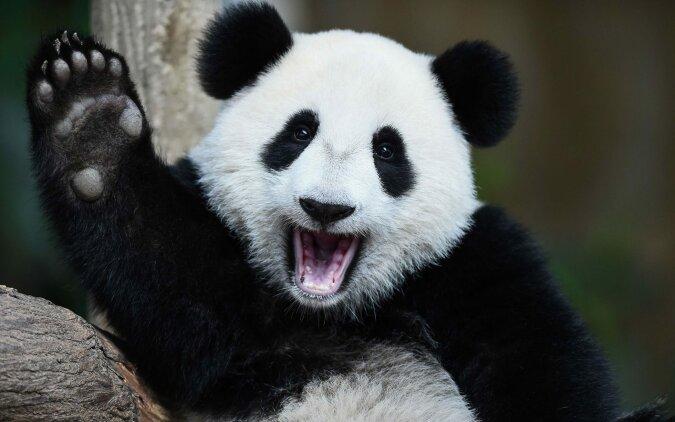 """""""Lieblingskindermädchen"""": Wie Pandas der Wärterin ihre Liebe zeigen und sie nicht gehen lassen"""