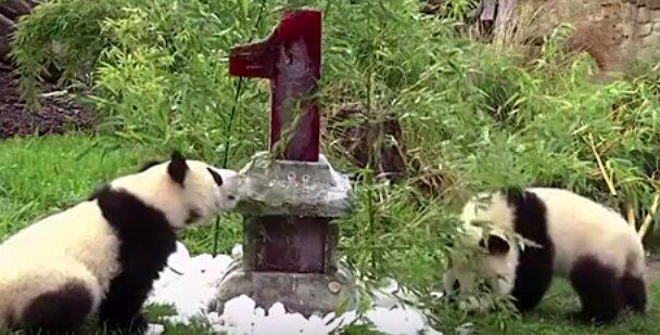 Erster Feiertag: Berliner Panda Zwillinge feiern ihr erstes Jahr