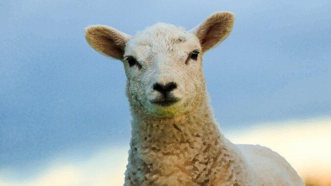 Ein Schaf. Quelle: wi-fi.com