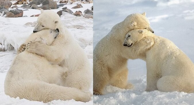 Eisbären. Quelle:dailymail.co.uk