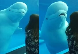 Ein neugieriger Beluga. Quelle: dailymail.co.uk