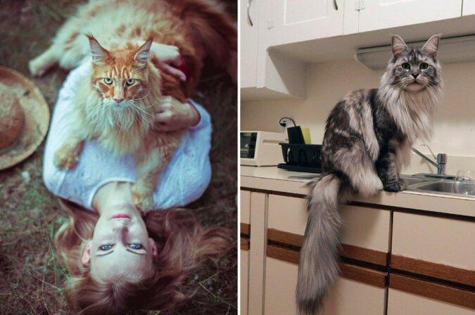 Zahme Löwen: Wunderschöne Maine-Coon-Katzen in all ihrer Pracht