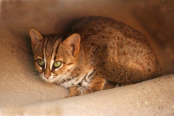 Passt in die Handfläche: Wie die kleinste Wildkatze aussieht