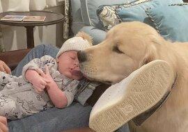 """""""Das ideale Kindermädchen"""": Goldener Retriever kümmert sich wie ein echter Babysitter um das Baby seiner Besitzer"""
