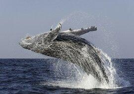 """""""Verspielter Nachbar"""": Ein freundlicher Wal beschloss, Touristen zu unterhalten und eine Show zu veranstalten"""
