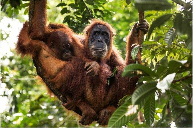 Der Sumatra-Orang-Utan. Quelle:swns.com
