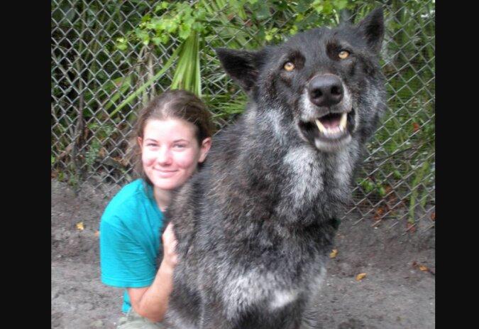 Vor sieben Jahren sollte ein Wolf namens Yuki eingeschläfert werden, aber er wurde gerettet, und ist später sehr schön geworden