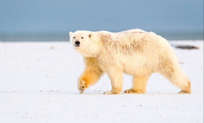 """""""Eine echte Expedition"""": Eine Frau zeigte, wie sie mit ihren Hunden an einem Ort mit Eisbären spazieren geht"""