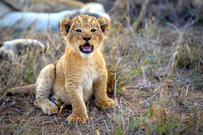 """""""Der König ist geboren"""": Wie das kleine Löwenbaby Simba, geboren von einem Löwen namens Mufasa, lebt"""