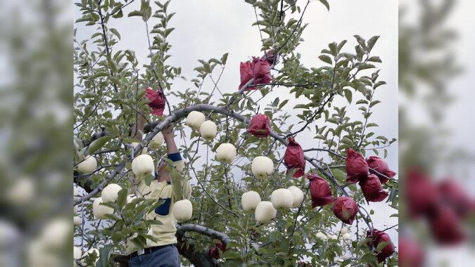 """Wie man Äpfel nach der Technologie """"Moji Ringo"""" anbaut. Quelle: travelask"""
