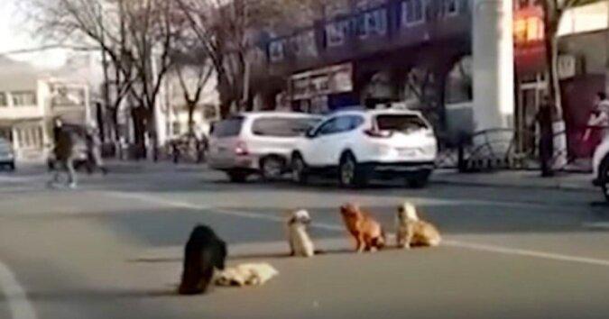 Hunde haben eine Straße blockiert, um ihrem Freund zu helfen, der im Stich geraten war