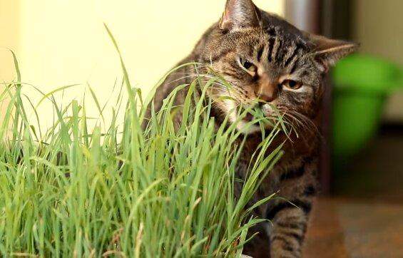 Warum fressen Katzen Gras: Wissenschaftler gaben eine Antwort