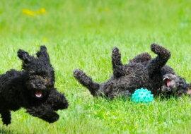 Kleine schwarze Hunde. Quelle: goodhouse