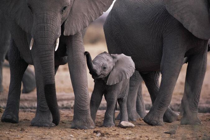 """""""Er macht alles alleine"""": Der kleine Elefant trinkt gerne Milch zum Mittagessen und macht es ohne Hilfe"""