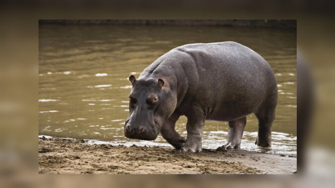 Das Nilpferd. Quelle:lisenot