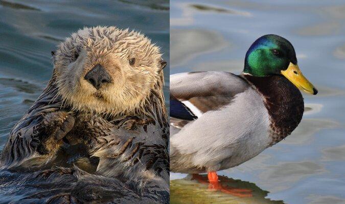 Otter und Stockente. Quelle:dailymail.co.uk