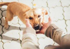 Ein Hund lief von seinem neuen Besitzer weg und lief 60 Kilometer auf der Suche nach der Frau, die ihn gerettet hat
