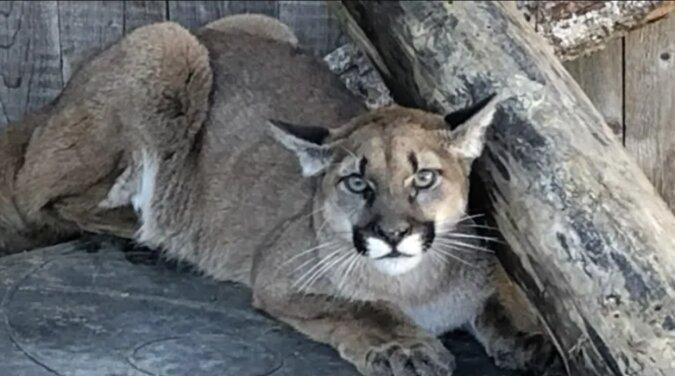 Ein von seiner Mutter verlassener Puma kam ins Tierheim und bat um Hilfe