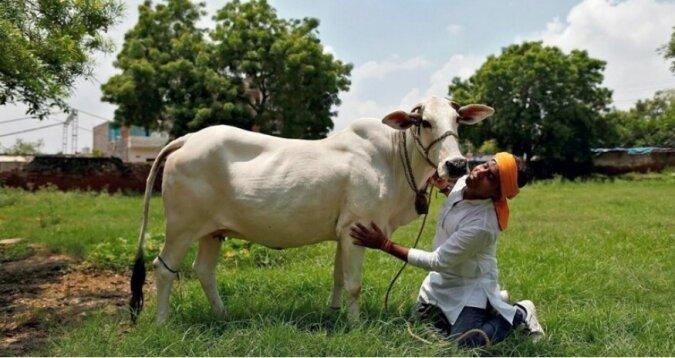 Traditionen Indiens: Es wurde bekannt, warum in diesem Land die Kuh als heiliges Tier anerkannt wird
