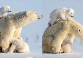 Eisbärenfamilie. Quelle:dailymail.co.uk