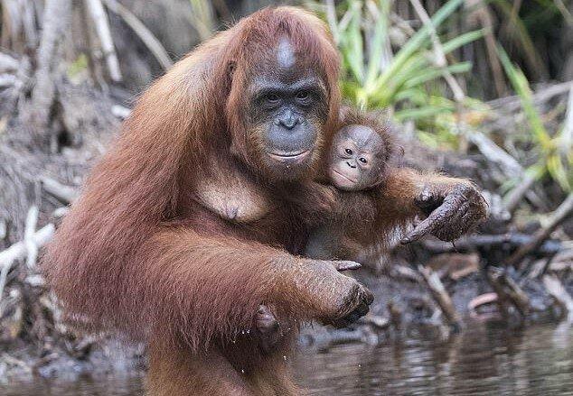"""""""Mamas Favorit"""": Der Baby-Orang-Utan verlässt seine Mutter keine Sekunde lang"""