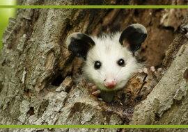 Ein kleines Opossum. Quelle: paws.com