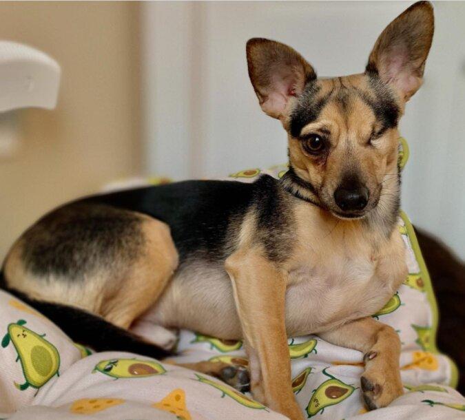 Der kleine Hund namens Ray verlor sein Auge, aber die Liebe und Fürsorge seiner Besitzer gaben ihm ein glückliches Leben