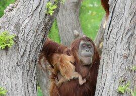 """""""Papas Liebe"""": Orang-Utan-Vater kümmert sich um seine Tochter"""