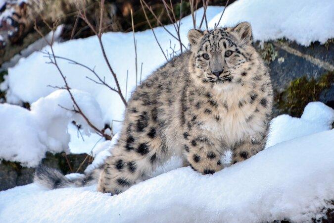 Intelligente Kätzchen: Schneeleopardenbabys schalteten die Kamera aus, die sie beobachtete
