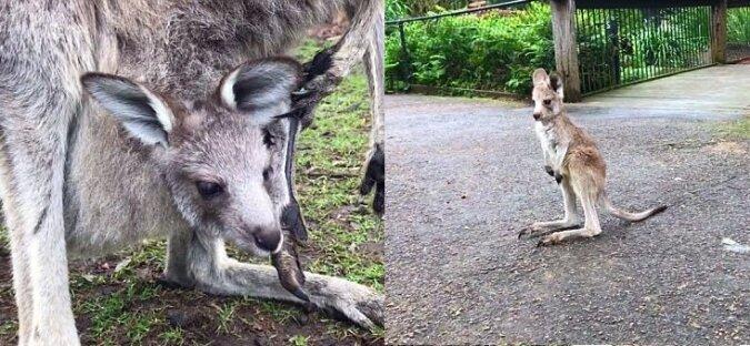 Ein neugeborenes Känguru. Quelle:dailymail.co.uk