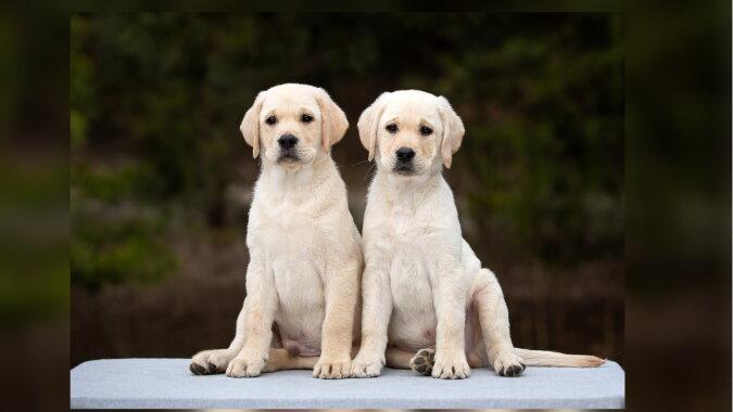 Zwei Hunde. Quelle: mylabrador.com
