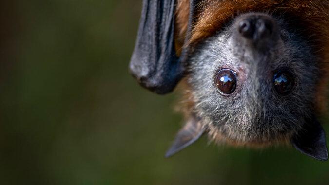 Eine lebende Fledermaus.Quelle:dailymail.co.uk